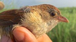 Un oiseau que l'on croyait disparu depuis 73 ans a été