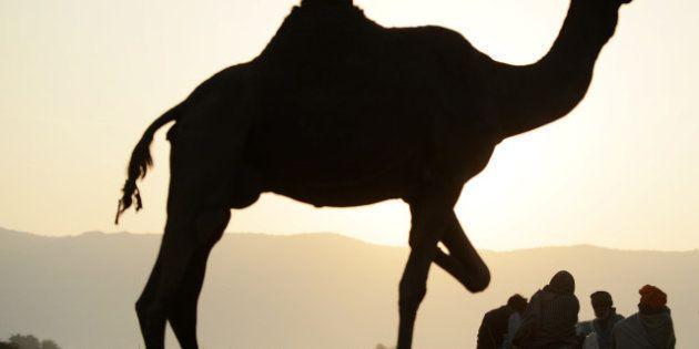 Mali : le chameau offert à François Hollande a été mangé, un autre arrive du