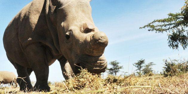 Rhinocéros blanc du nord: après la mort d'Angalifu il ne reste que cinq individus à travers le