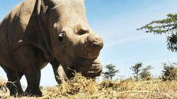 Il ne reste plus que 5 rhinocéros blancs du nord dans le