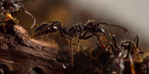 Une fourmi ninja esclavagiste découverte aux
