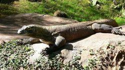 À 83 ans, elle repousse un dragon de Komodo d'un coup de
