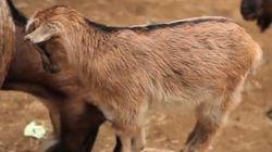 VIDÉO. Ces chèvres adorent monter sur d'autres animaux, entre
