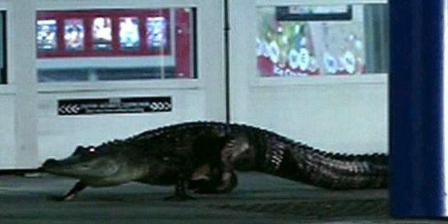 VIDEO. Un alligator au