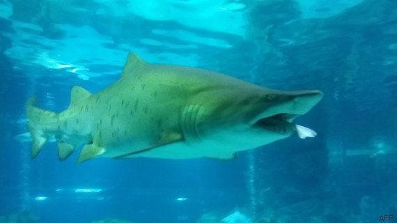VIDÉO. Pour le dîner, ce requin d'un aquarium de Séoul a englouti son