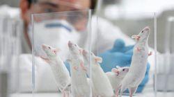 Ces souris génétiquement modifiées ont gagné 25% d'espérance de