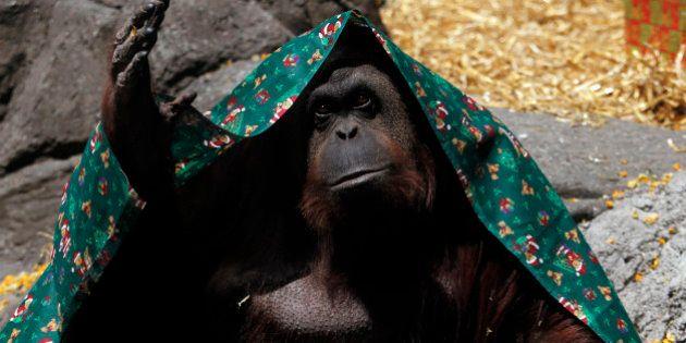 Droits des animaux: un orang-outan libéré car considéré comme