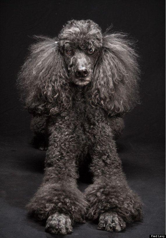 PHOTOS. Les chiens noirs et leur beauté en