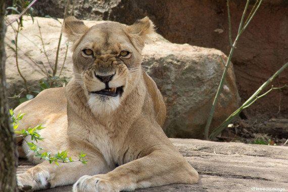 PHOTOS. Cette lionne qui fait une grimace a bien fait rire les