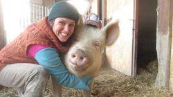 Une ferme italienne accueille des cochons rescapés des