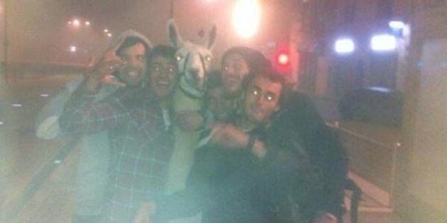 PHOTOS. Un lama dans le tramway à Bordeaux: le cirque retire sa plainte contre les cinq jeunes