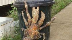 Le plus gros crabe du monde aperçu dans les rues de
