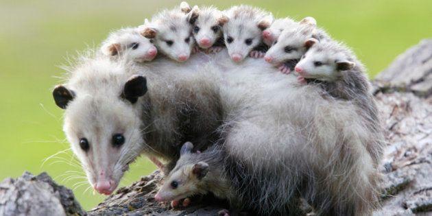 Female opossum (Didelphis virginiana) carrying