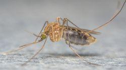 Pourquoi le moustique responsable de l'épidémie Zika ne tombe pas