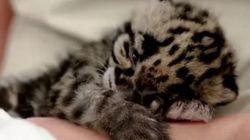 Ce bébé léopard va vous faire