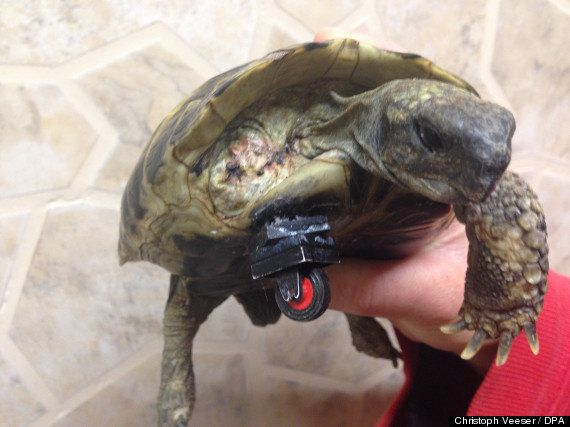 Schildi, la tortue Formule 1 a une nouvelle roue en