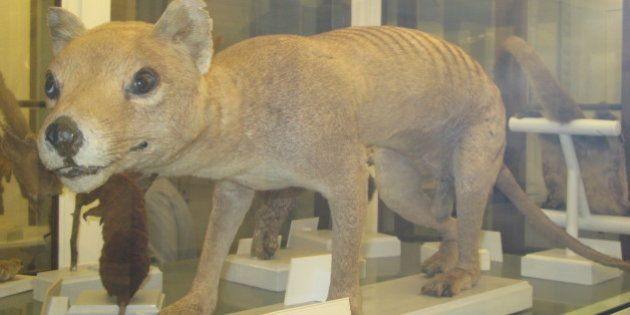 Stuffed Tasmanian tiger from the Zoological Musuem in Firenze. Exticnt since