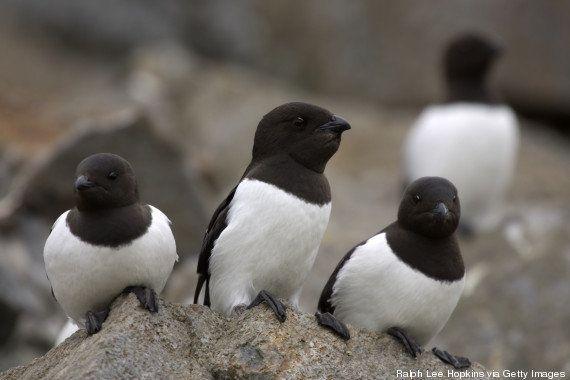 Réchauffement climatique: le mergule nain est un petit oiseau qui a parfaitement réussi à s'adapter à...
