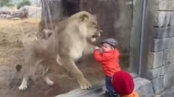 Trop mignon ! Cette lionne veut jouer avec l'enfant... ou