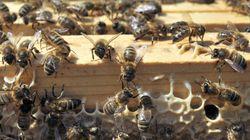 Les pesticides tueurs d'abeilles bientôt