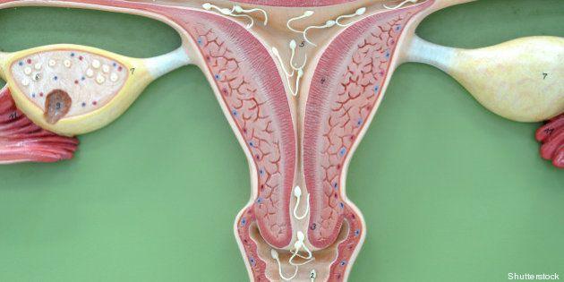 uterus of