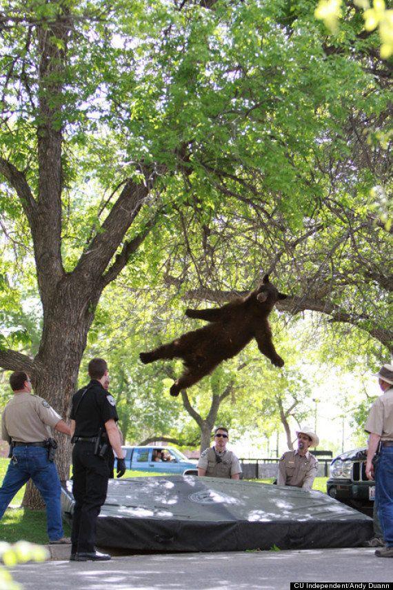 Un ours tombe d'un arbre sur un campus américain -