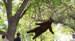 L'ours volant est