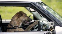 Les chiens peuvent conduire, la