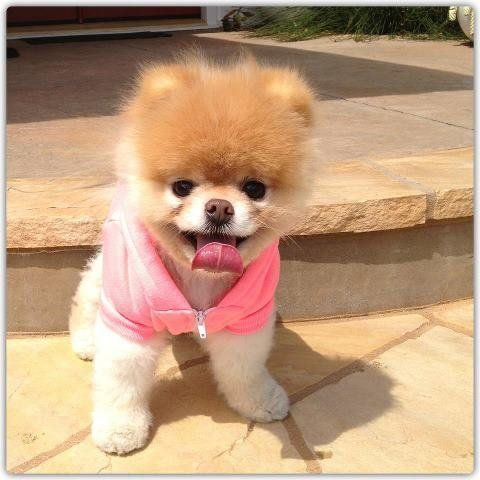 Boo, le chien le plus mignon du monde, n'est pas