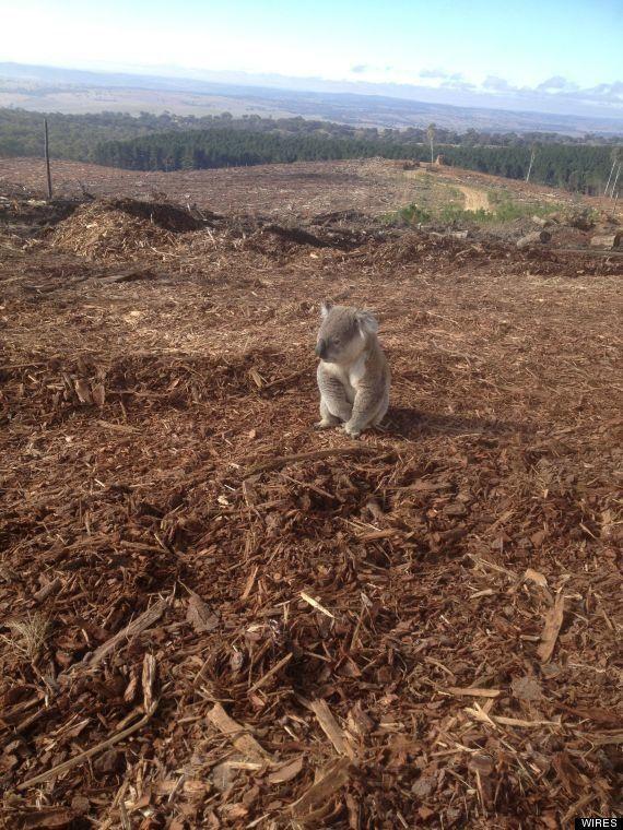 PHOTO. Un koala désorienté après la destruction de son