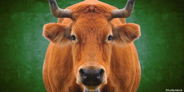 isolated cow on a
