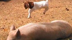 Cette petite chèvre va vous faire