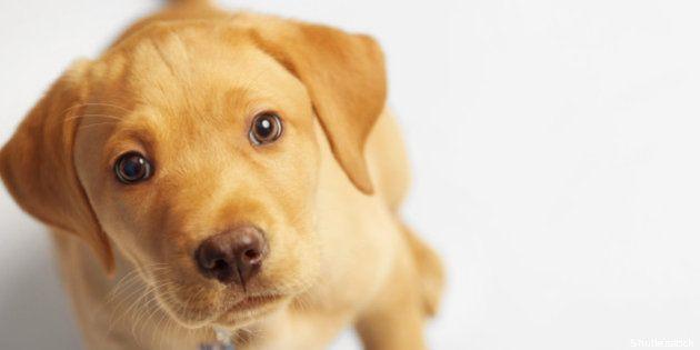 adorable labrador puppy looking
