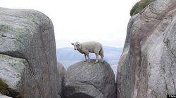 Mais que fait ce mouton sur cet étonnant