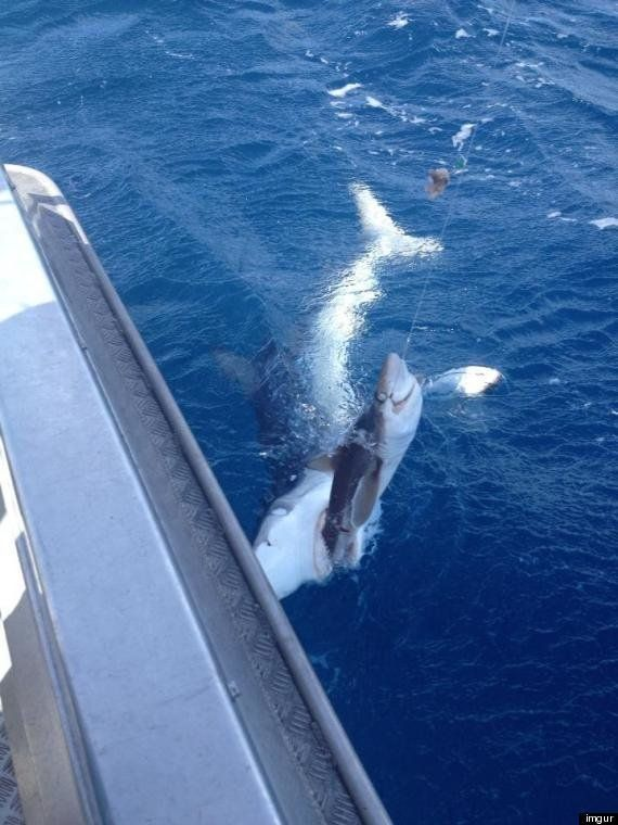PHOTO. Un requin mange un requin, la photo incroyable d'un pêcheur