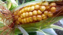 Étude sur les OGM : le bras de fer