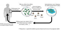Thérapie cellulaire et cellules souches: où en est la