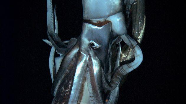 VIDÉO. Un calamar géant de 8m filmé dans le Pacifique par 900m de