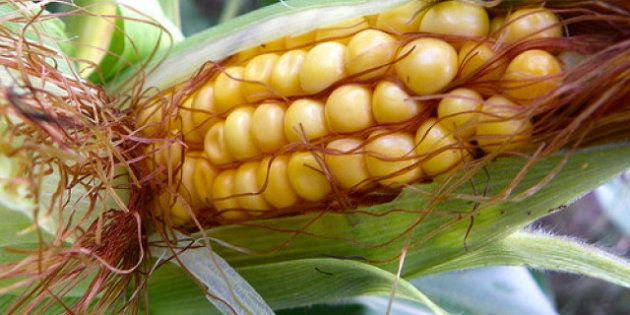 OGM: la Commission européenne gèle le processus d'autorisations de