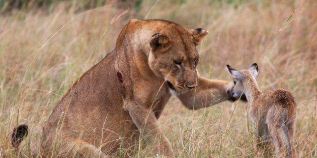 PHOTOS. Une lionne s'amourache d'une petite
