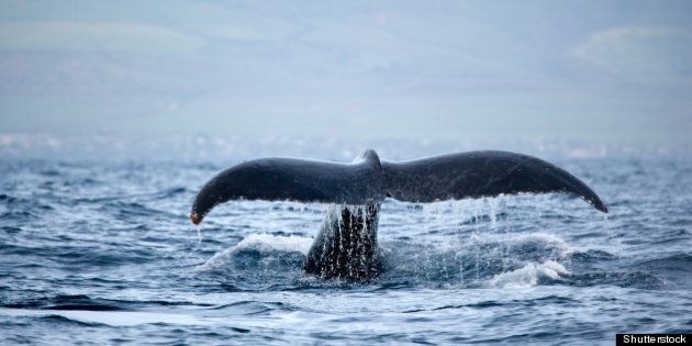 humpback whale tail in