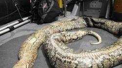 Un python de 40 kilos repêché dans la