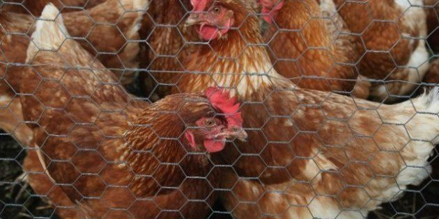 Une bactérie présente chez le poulet serait à l'origine des infections