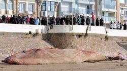 Une baleine de 18 m échouée aux Sables