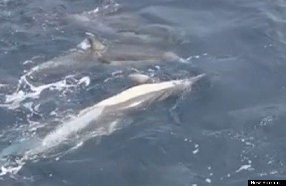 VIDÉO. Un groupe de dauphins vient en aide à un compagnon mourant en formant un
