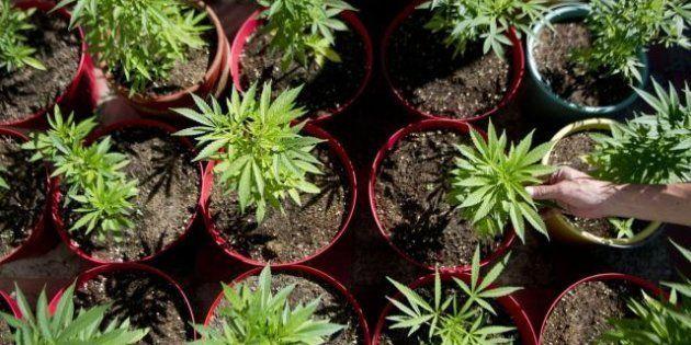 Élue EELV impliquée dans du trafic de cannabis : huit nouvelles personnes mises en