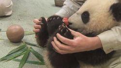 Un petit panda en pleine