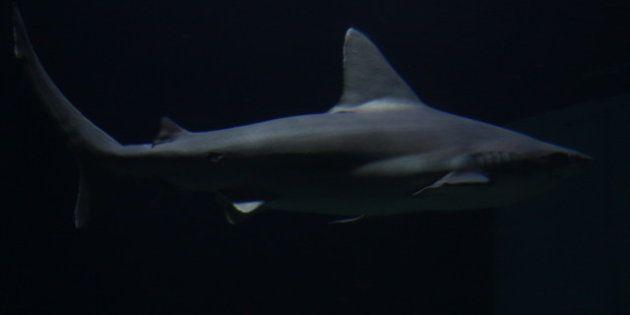 Nouvelle attaque de requin à la Réunion: un surfeur grièvement blessé à