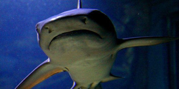 Attaques de requins à la Réunion: une vingtaine de squales seront