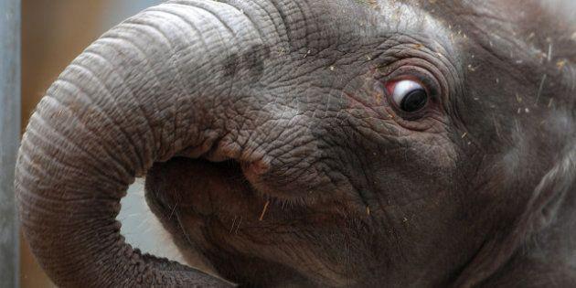 PHOTOS. Naissance au zoo de Beauval de Rungwe, premier éléphanteau issu d'une insémination artificielle...